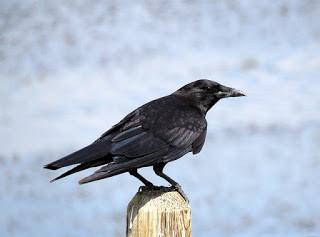 crow-1502912_640.jpg