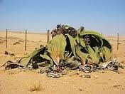 welwitschia mirabilis.jpg