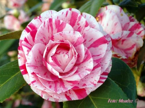 Cerva - A beleza das Flores - Camélias.jpg