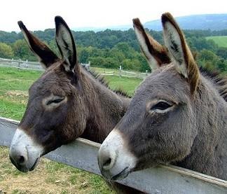 donkeys-105718_960_720.jpg