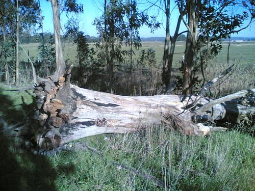 Árvore derrubada ao chão