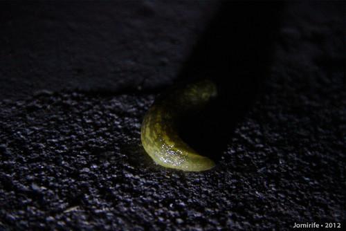 Lesma / Slug (7)