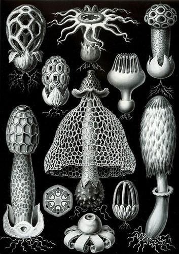cogumelos ernst Haeckel 1904.jpg