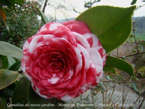 Floriu no nosso jardim em meados de Março