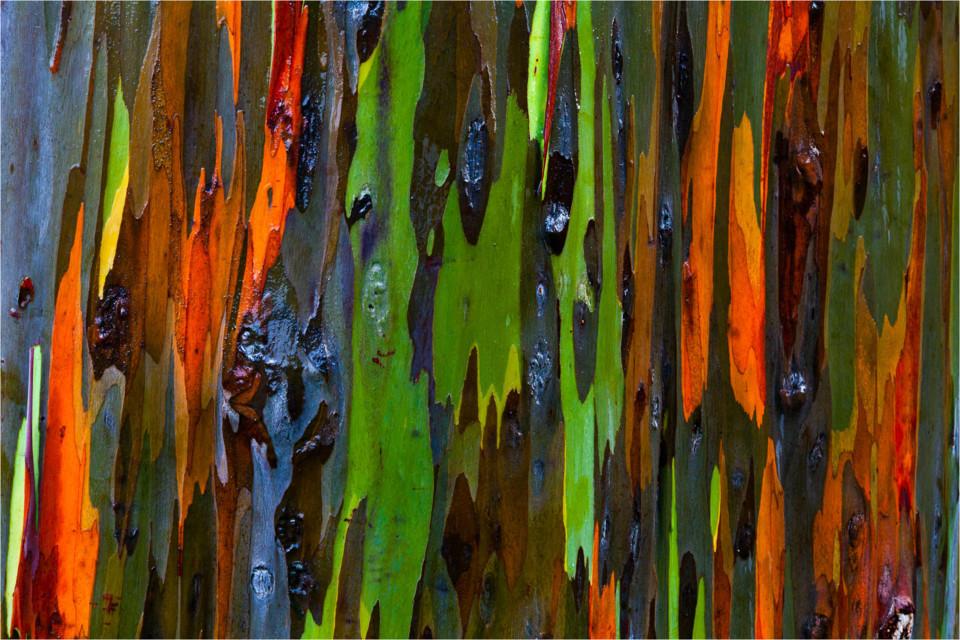 eucalyptus deglupta_08.jpg