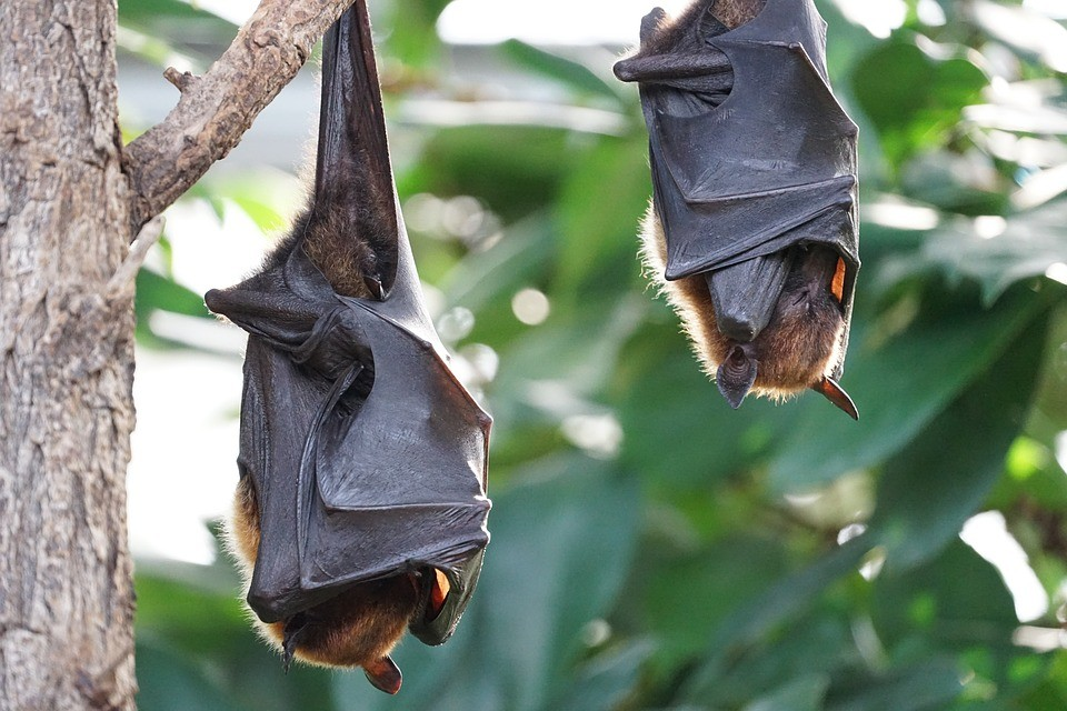 flying-foxes-2237209_960_720.jpg