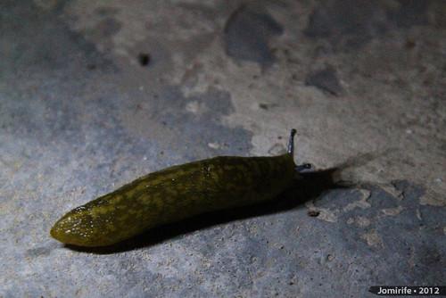 Lesma / Slug (78)