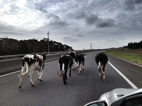 As vacas voltaram à VVN!... Será?