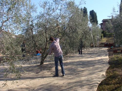 A apanha da azeitona