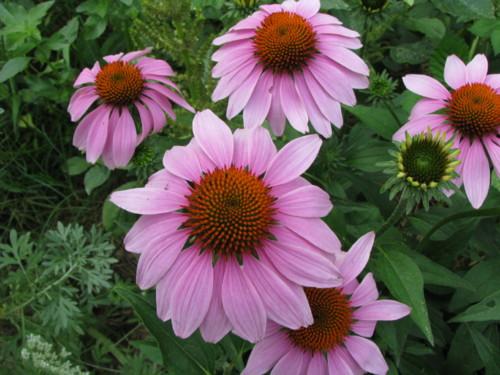 echinacea-purpurea-708-2.jpg