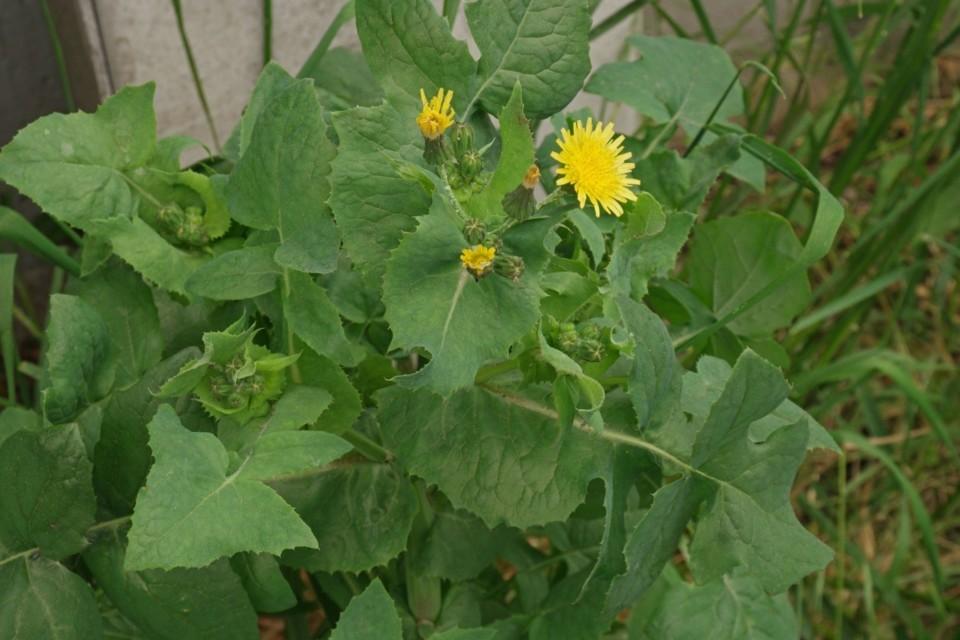 serralha-verdadeira-sonchus-oleraceus-sementes-par