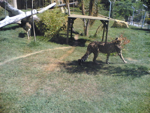 Chitas - Cheetahs