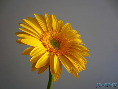 Flor Gerbera amarela, Yellow Gerbera flower (3)