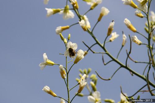 Abelhas a tirar o pólen das flores (5)