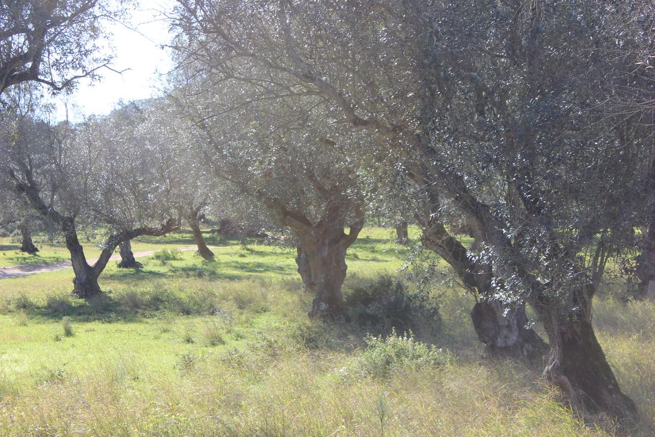 oliveiras velhas.JPG