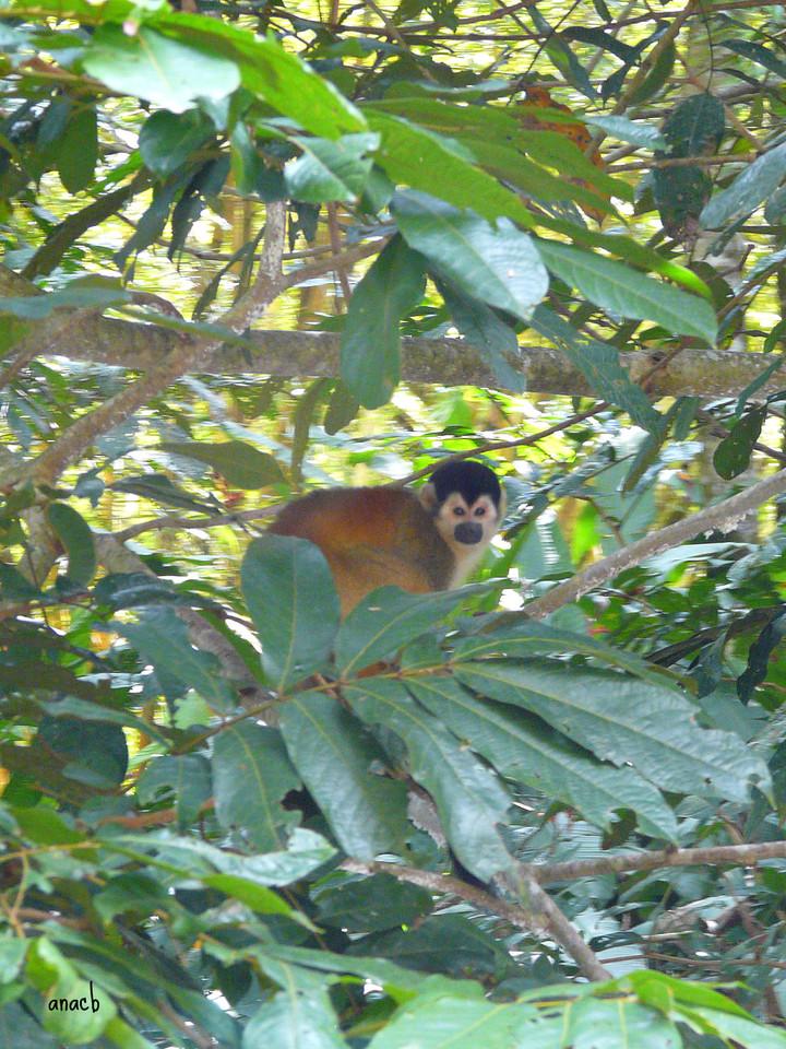 Sierpe-macaco-esquilo da América central.jpg