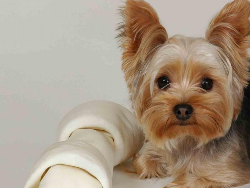 melhores-raças-para-apartamento-yorkshire-terrier