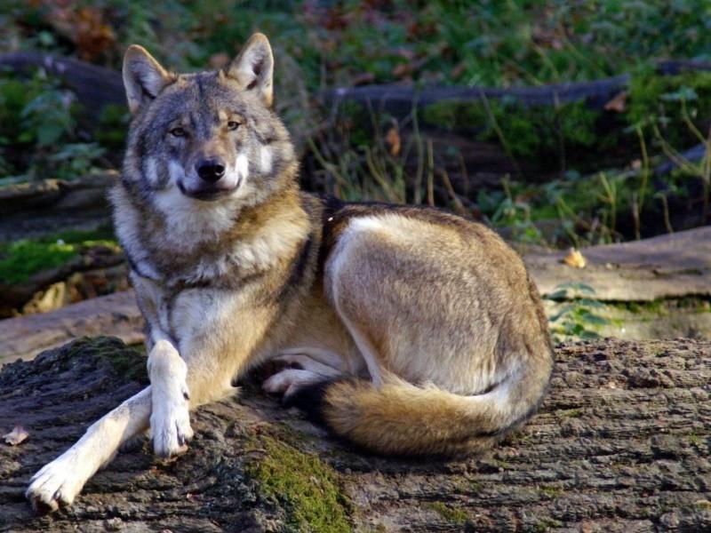 wolf9.jpg