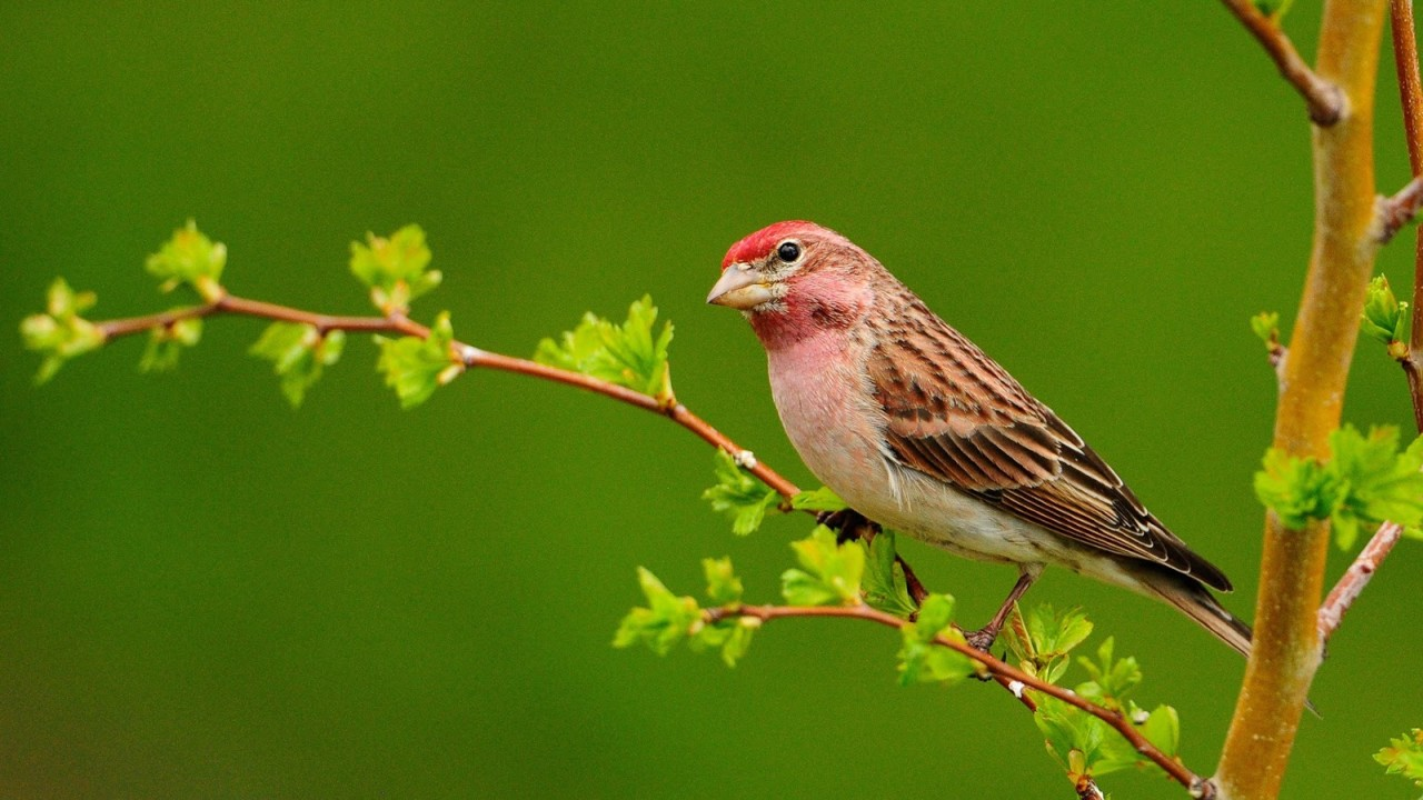 Bird-on-the-branch-green-background_1920x1080.jpg