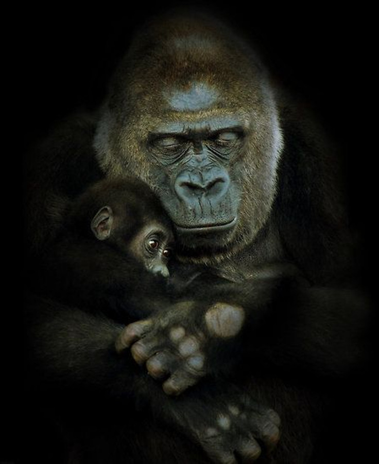 Gorilla_PIC_DDS.jpg