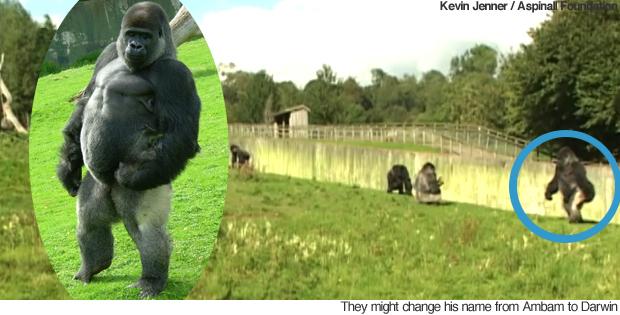 gorila anda como um humano
