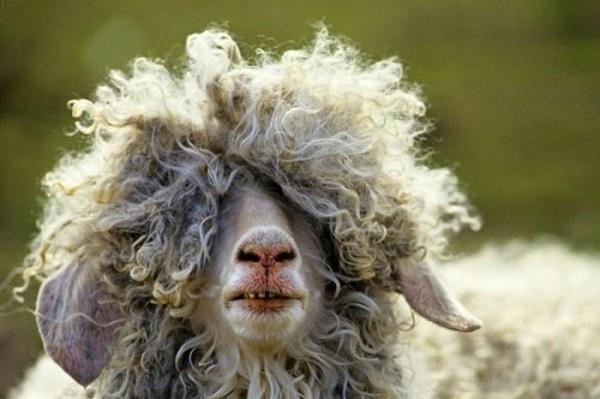 cabra cabeluda