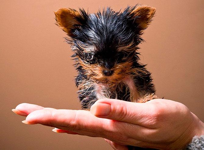 cão pequeno guinness